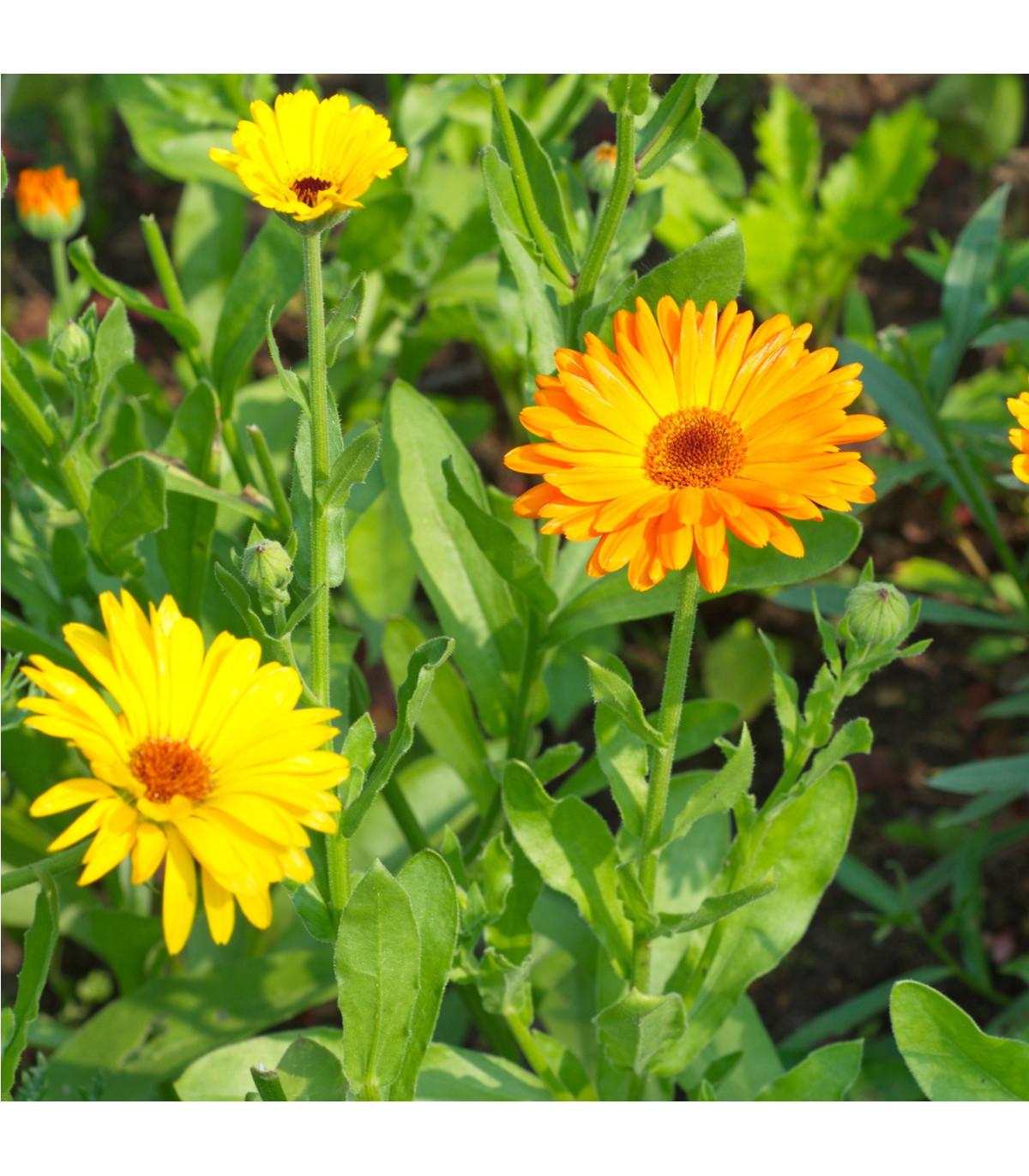 Nechtík lekársky - semená nechtíka - módne odtiene farieb - Calendula officinalis - 30 ks