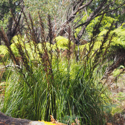 Ozdobná trstina - semená trstiny - Gahnia trifida - 10 ks