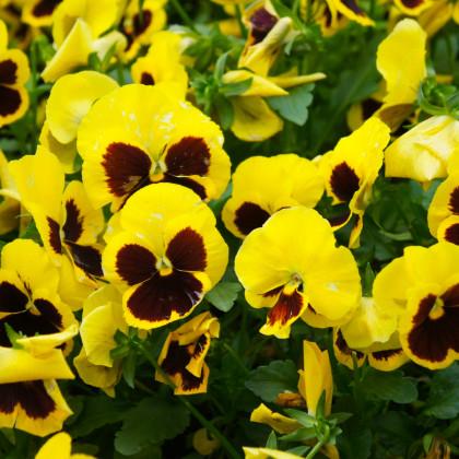 Sirôtka švajčiarska Firnengold - zlatožltá - semená Sirôtky - 0,3 gr
