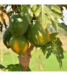 Papaya carica Sunrise -semená papáje - Carica Papaya - 4 ks