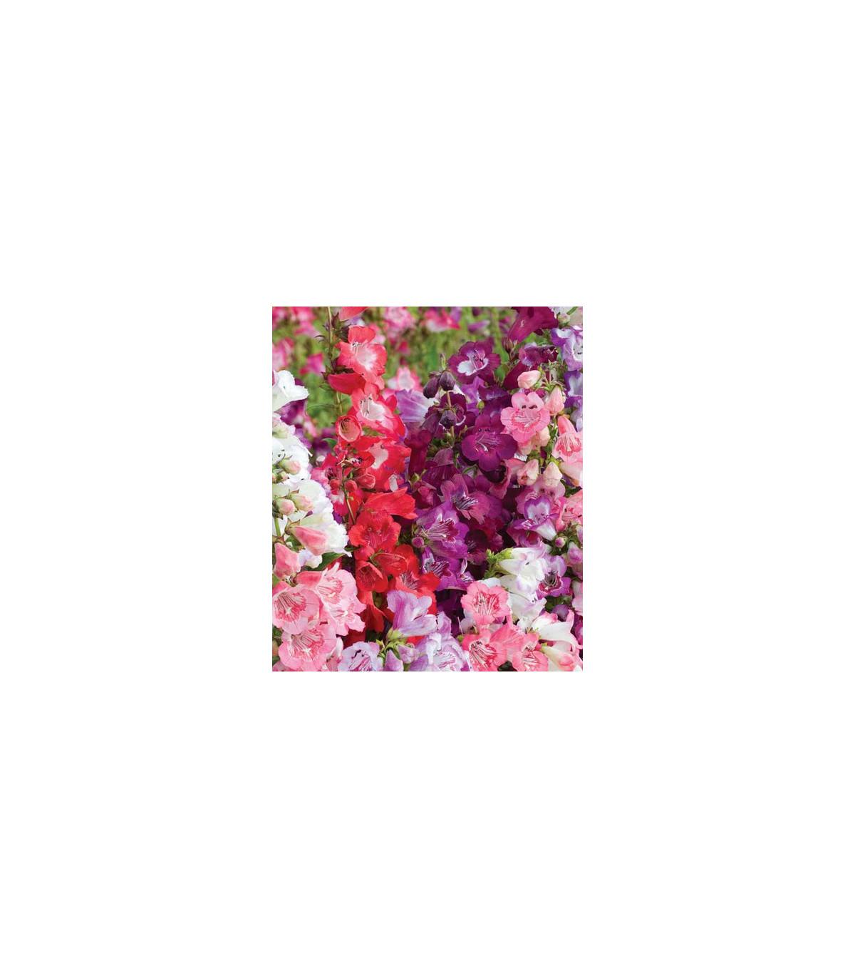 Penstemon hartwegii Senzácia zmes - semená - Penstemon hartwegii - 0,05 gr
