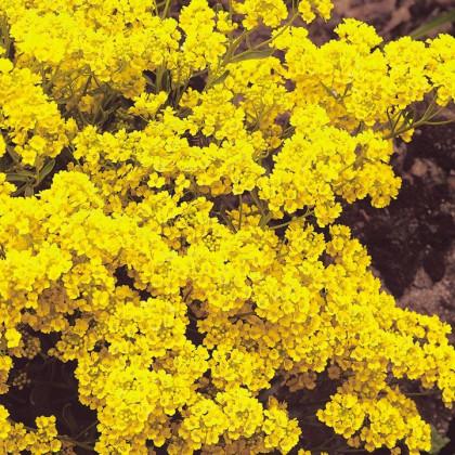 Tarica - semená Tarice - Alyssum saxatile - 1 g