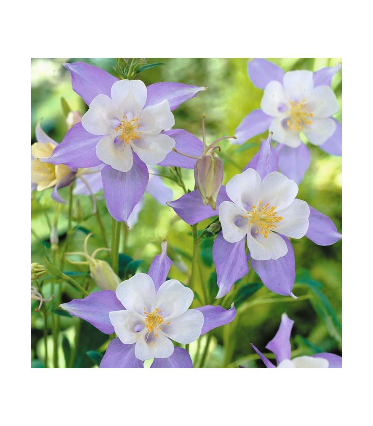 Orlíček zmes farieb - semená Orlíčka - Aquilegia caerulea - cca 140 ks