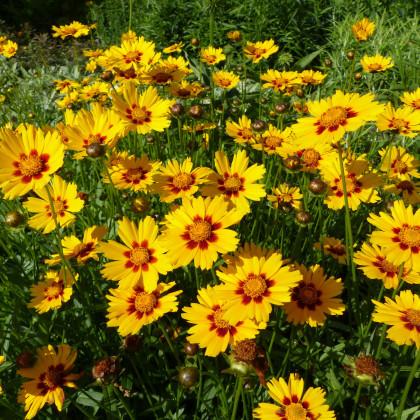 Krásnoočko dvojfarebné - nízke - semená Krásnoočka - 50 ks