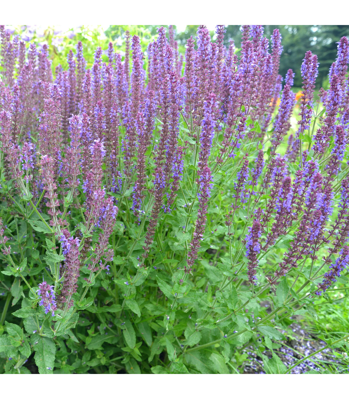 Šalvia hájna - Blue Queen - semená Šalvie - Salvia nemorosa - 50 ks