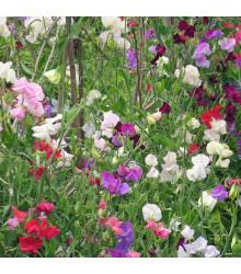 Hrachor vonný Bijou zmes farieb - Lathyrus odoratus - semená - 16 Ks