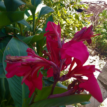 Dosna ružová La Boheme - Canna - cibuľoviny - 1 ks