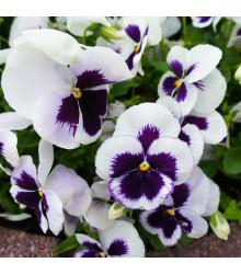 Sirôtka Silberbraut -  Viola wittrockiana - predaj semien sirôtky - 30 ks