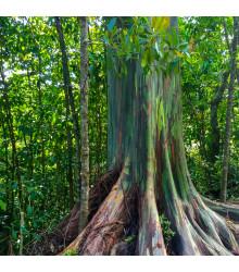 Eukalyptus dúhový - Eucalyptus deglupta - predaj semienok - 5 ks