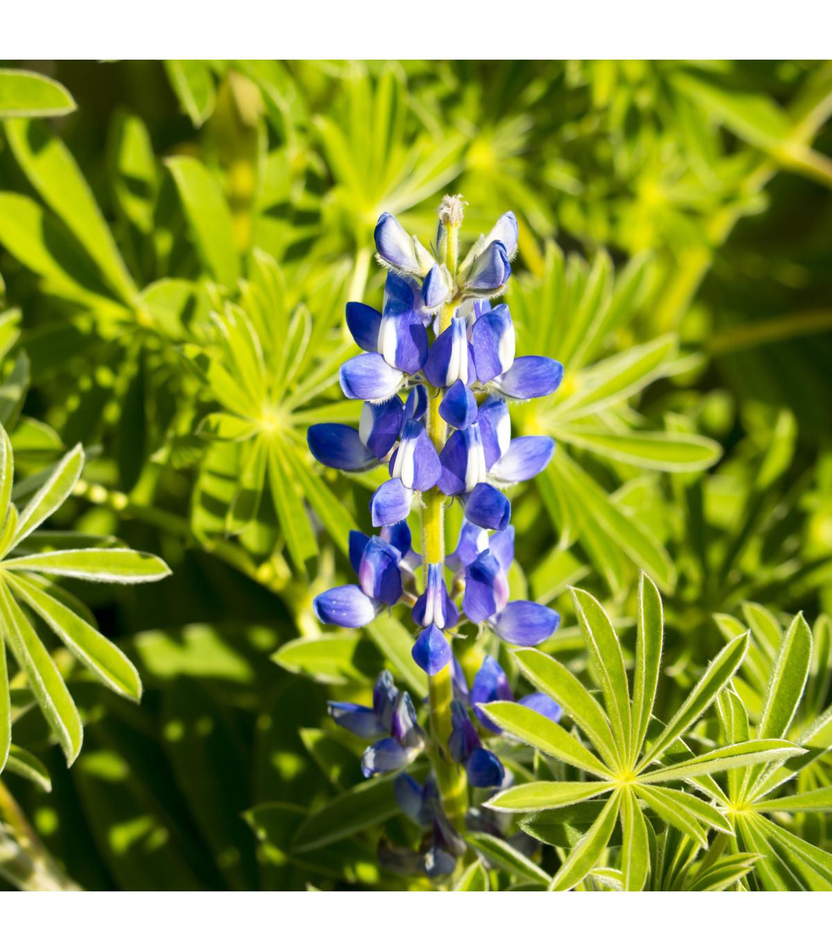 Lupina úzkolistá modrá - 20 Ks - Lupinus angustifolia