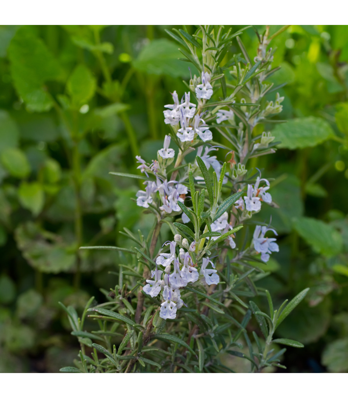 Rozmarín lekársky Rosita - Rosmarinus officinalis - semená rozmarínu- 50 ks
