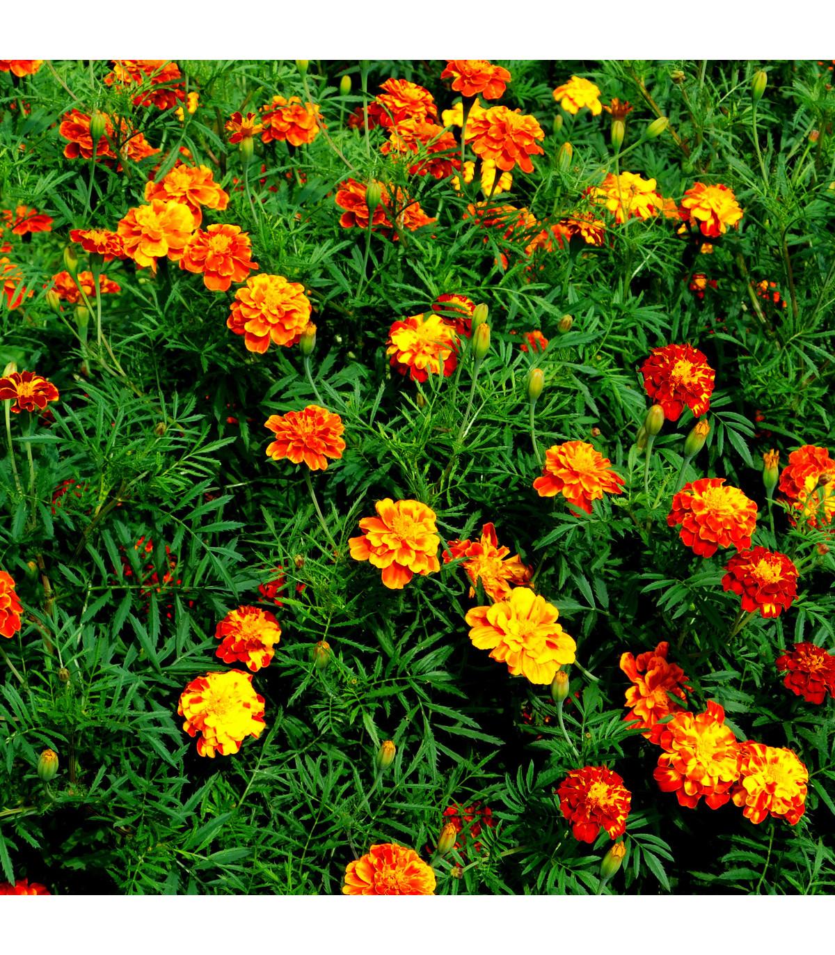 Aksamitník vysoký směs- semena Aksamitníku- 100 ks