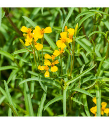 Aksamietnica mexická - Mexický TARRAGON - Tagetes lucida - semená aksamietnice - 0,2 g
