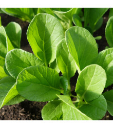 Komatsuna - Zelená horčica - semená komatsuna - 7 ks