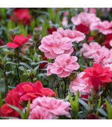 Klinček trpasličí - Mix farieb - Dianthus caryophyllus - semená - 130 ks