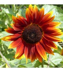 Slnečnica ročná F1 Fantázia - Helianthus annuus - predaj semien - 6 ks