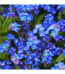 Nezábudka alpská temne modrá - Myosotis alpestris - semená nezábudky - 0,1 g