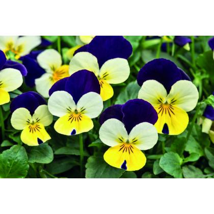 Muškát záhradný Cabaret F2 zmes - pelargonium hortorum- predaj semien pelargónií - 6 ks