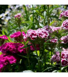 Klinček bradatý plnokvetý - zmes farieb - Dianthus barbatus - semená Klinčeku - 0,3 gr