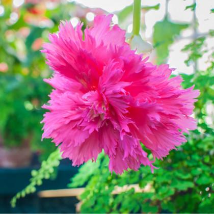 Begónia ružová rozstrapkaná - Begonia fimbriata - cibule begónie - 2 ks