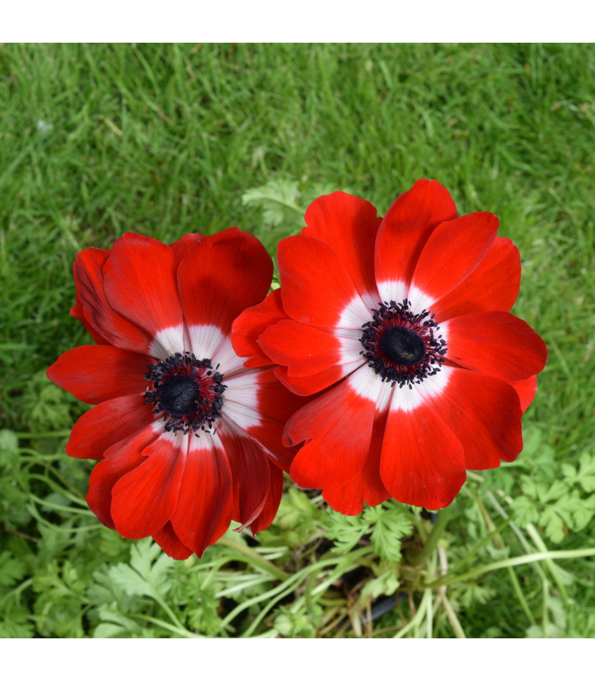 Sasanka Hollandia - Anemone - cibuľky - 3 ks