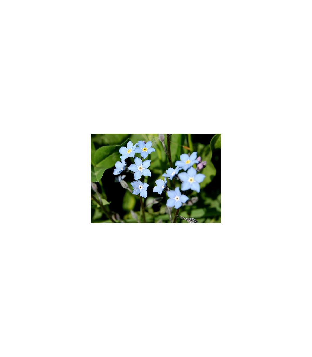 Pomněnka alpinská - semena Pomněnky - 180 ks - Myosotis alpestris