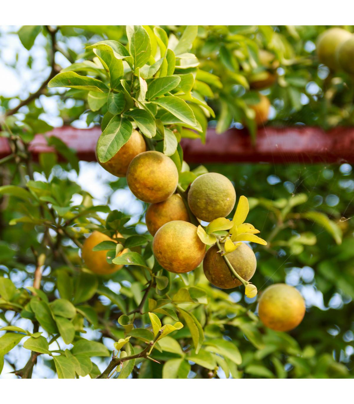 Citronečník trojlistý - Trifoliáta - semena citronečníku - 4 ks- Poncirus trifoliata