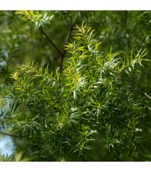 Čajovníkový strom - semená Kajeputu - 50 ks - Kajeput - Melaleuca acuminata