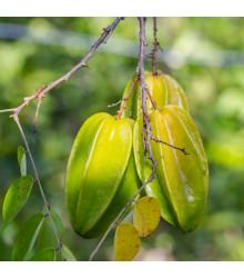 Karambola - Hvězdné ovoce - 4 ks - rostlina Averrhoa carambola