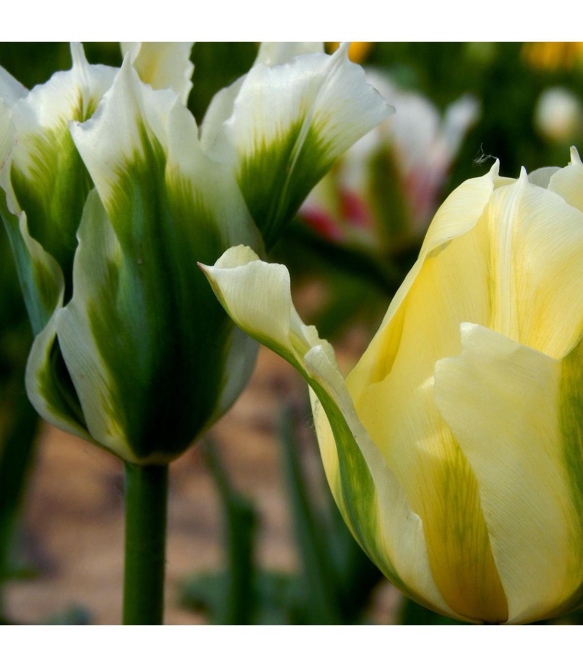 Tulipán Spring green - Tulipa - cibuľoviny - 3 ks