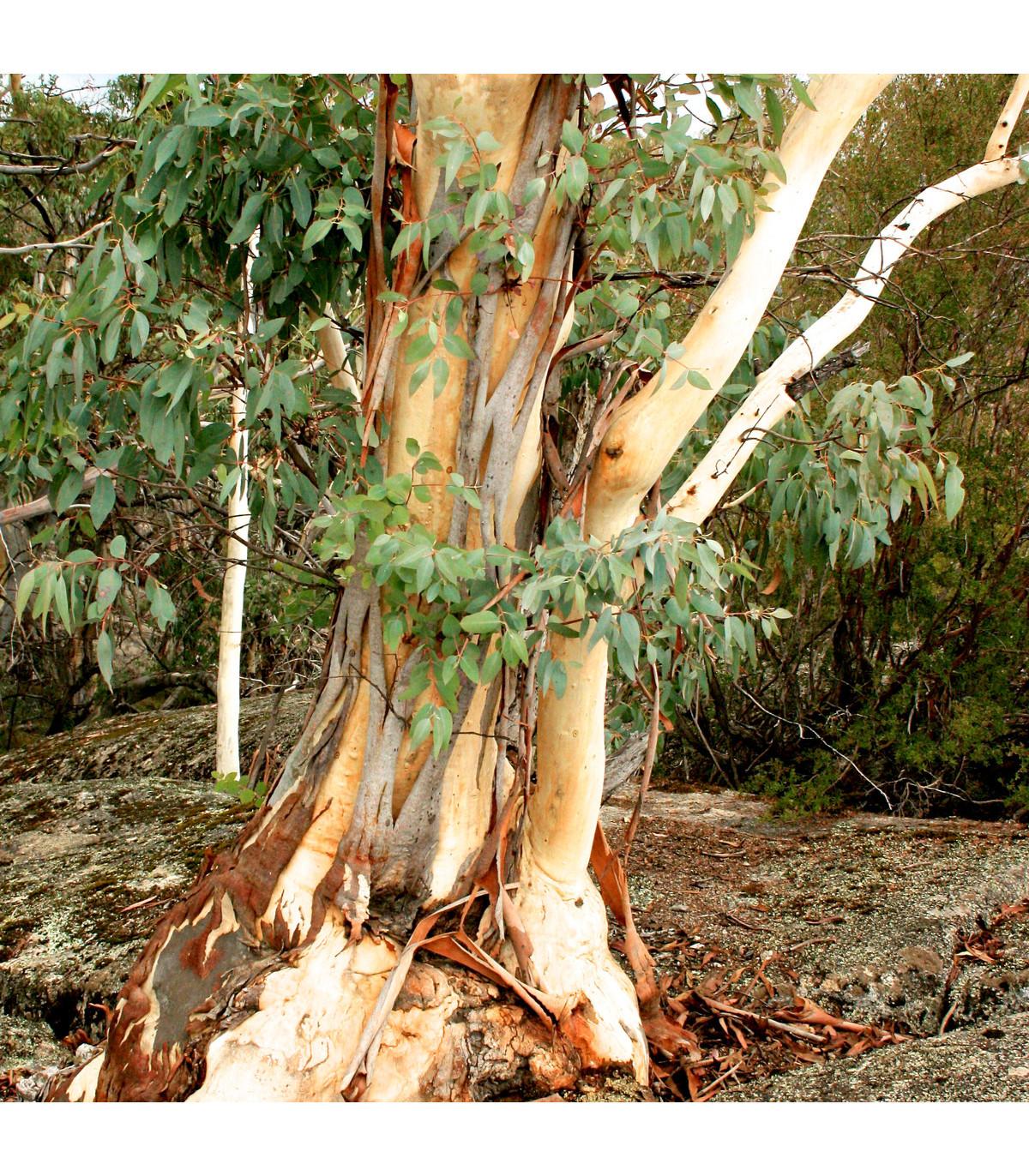 Eukalyptus Pauciflora mrazuvzdorný - semená - 8 ks  - Eucalyptus pauciflora