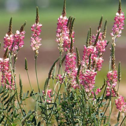 Vičenec vikolistý - semená vičenca - Onobrychis viciifolia - 50 ks