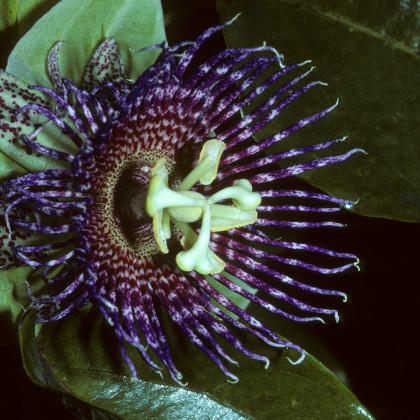 Mučenka maliformis - semená - 4 ks - Passiflora maliformis