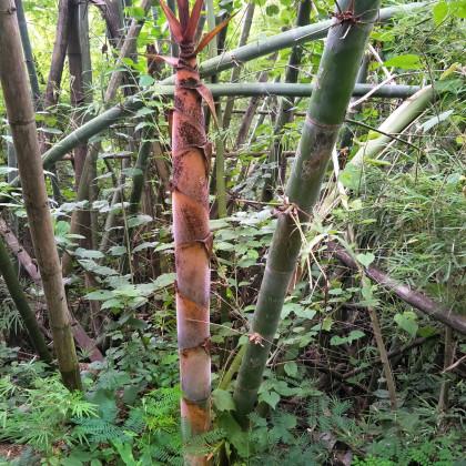 Bambus železný - semena bambusu - 2 ks - Dendrocalamus Strictus
