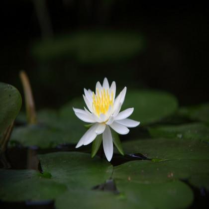 Lotus indický - Nelumbo nucifera - semínko Lotusu - 2ks