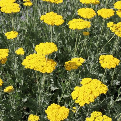 Rebríček túžobníkový žltý - semená rebríčka - Achillea filipendulina - 0,5 gr
