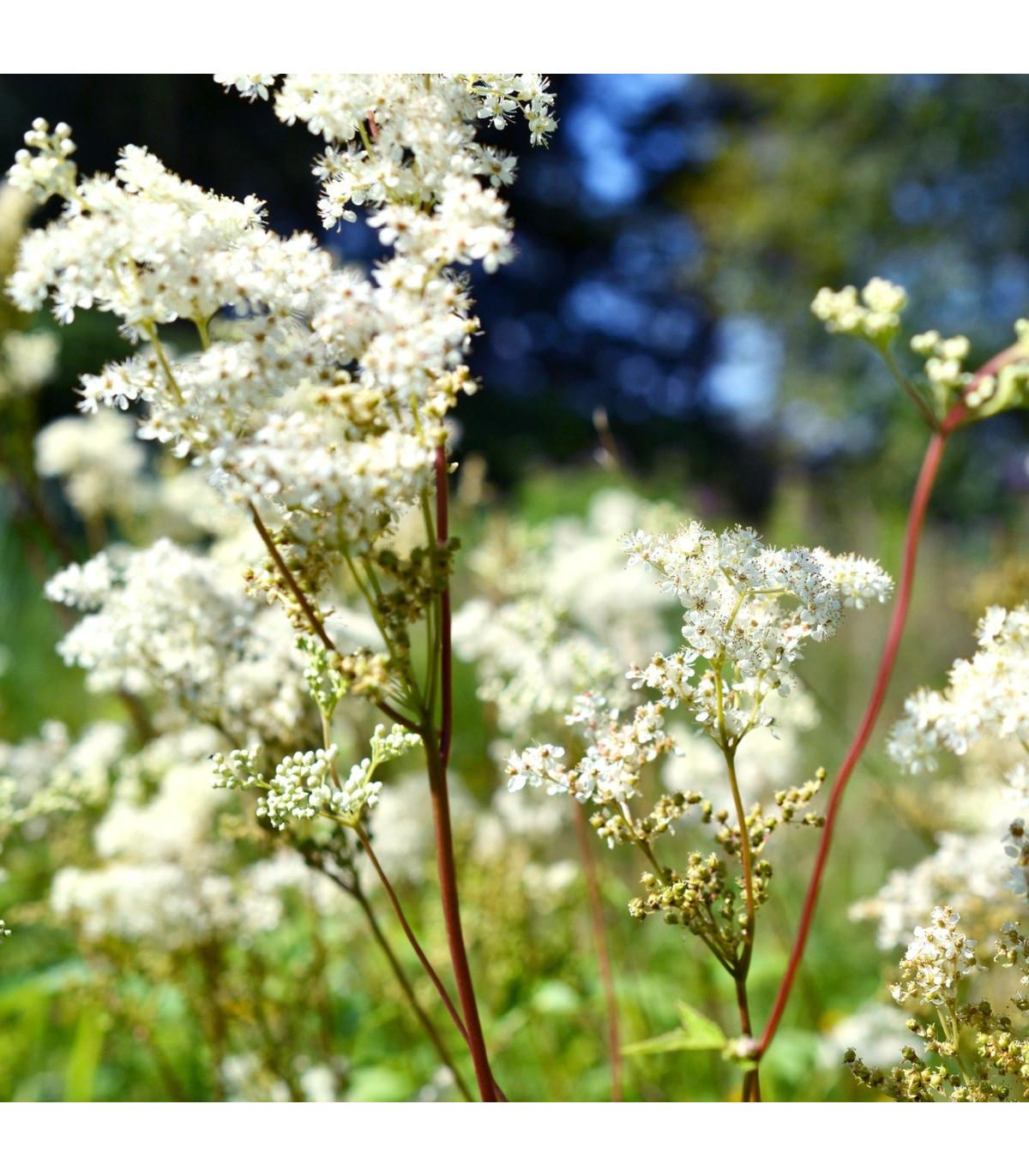 Túžobník brestový - semená - 8 ks - Filipendula ulmaria