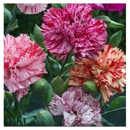 Klinček Karafiát - Mix farieb - semená Klinčeka - Dianthus caryophyllus - 130 ks