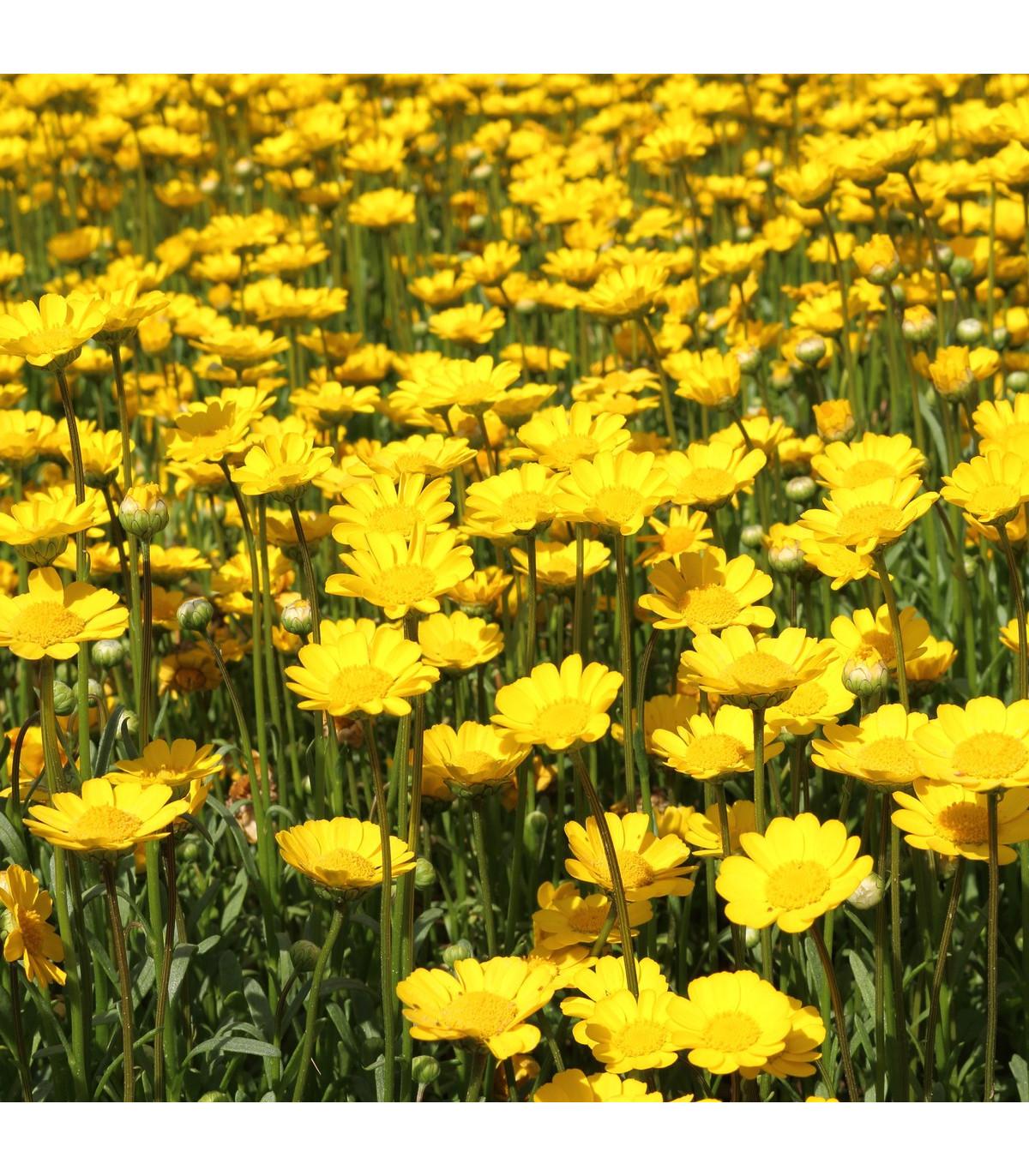Margaréta nízka zlatožltá - semená margaréty - Chrysanthemum multicaule - 0,4 gr