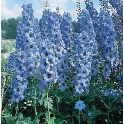 Stračia nôžka modré odstiene - semená Stračej nôžky - Deplhinium cultorum - 50 ks