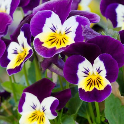 Fialka ostrohatá Johnny Jump up - osivo fialiek - Viola cornuta - 0,2 gr