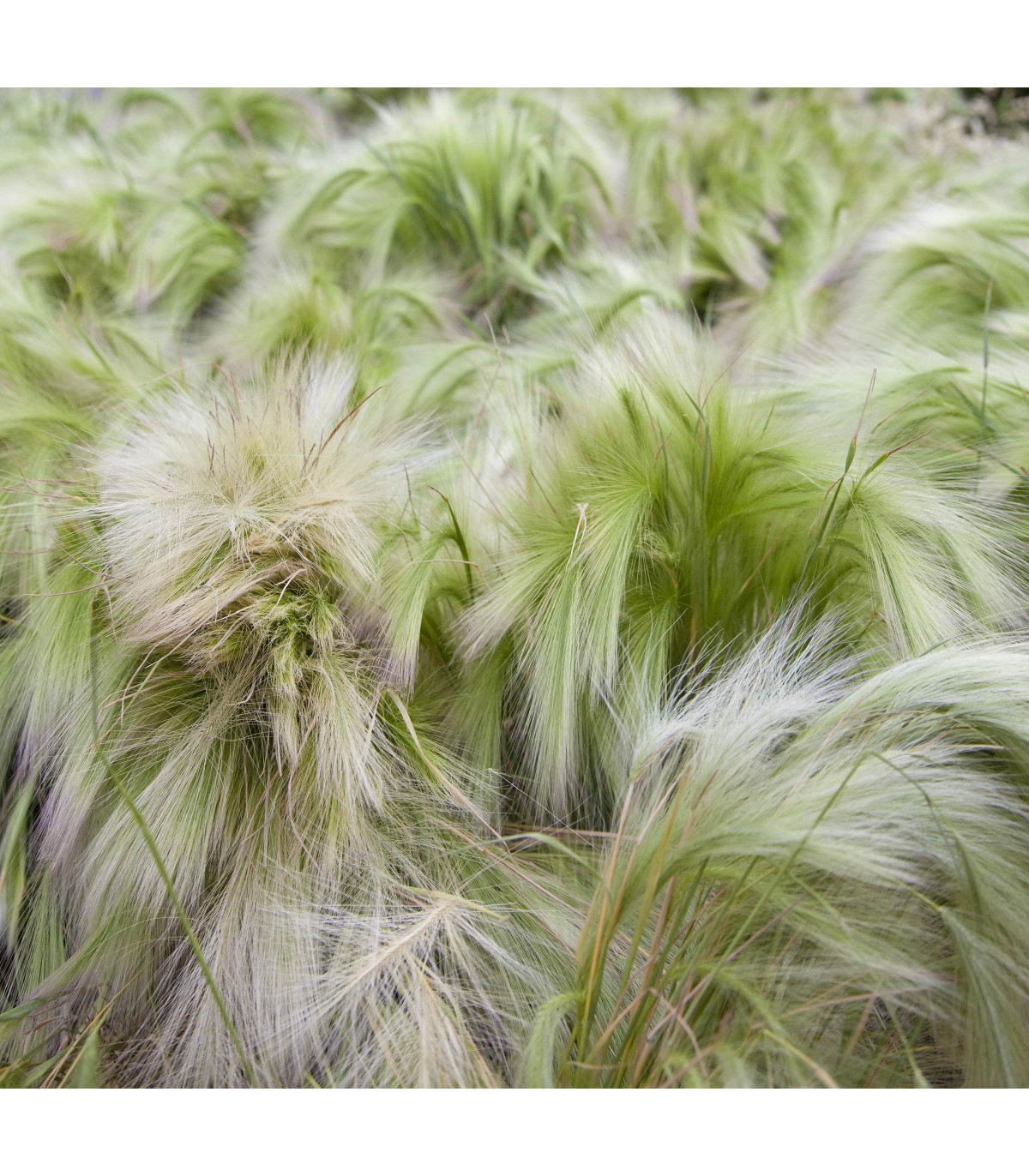 Jačmeň hrivnatý - semená jačmeňa - Hordeum jubatum - 10 ks
