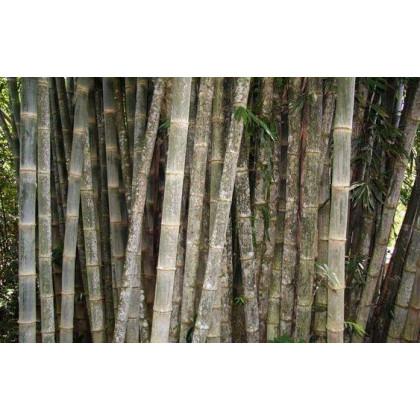 Bambus nejvyšší - prodej semen Bambusu - osivo bambusu - 2 x - Dendrocalamus giganteus