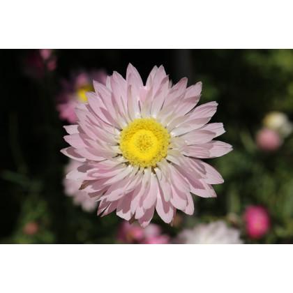 Časovka suchmázdritá - semená Časovky - Rhodanthe manglesii - 100 ks