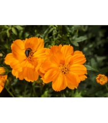 Krasuľka žltá Sunset - semená krasuľky - Cosmos sulphureus - 40 ks