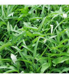 Povojník vodný - semená povojníka - Ipomoea aquatic - 0,8 gr