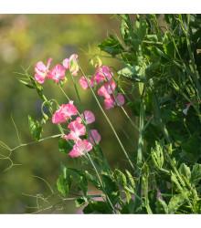 Hrachor popínavý lososovo ružový - semená hrachora - Lathyrus odoratus - 20 ks
