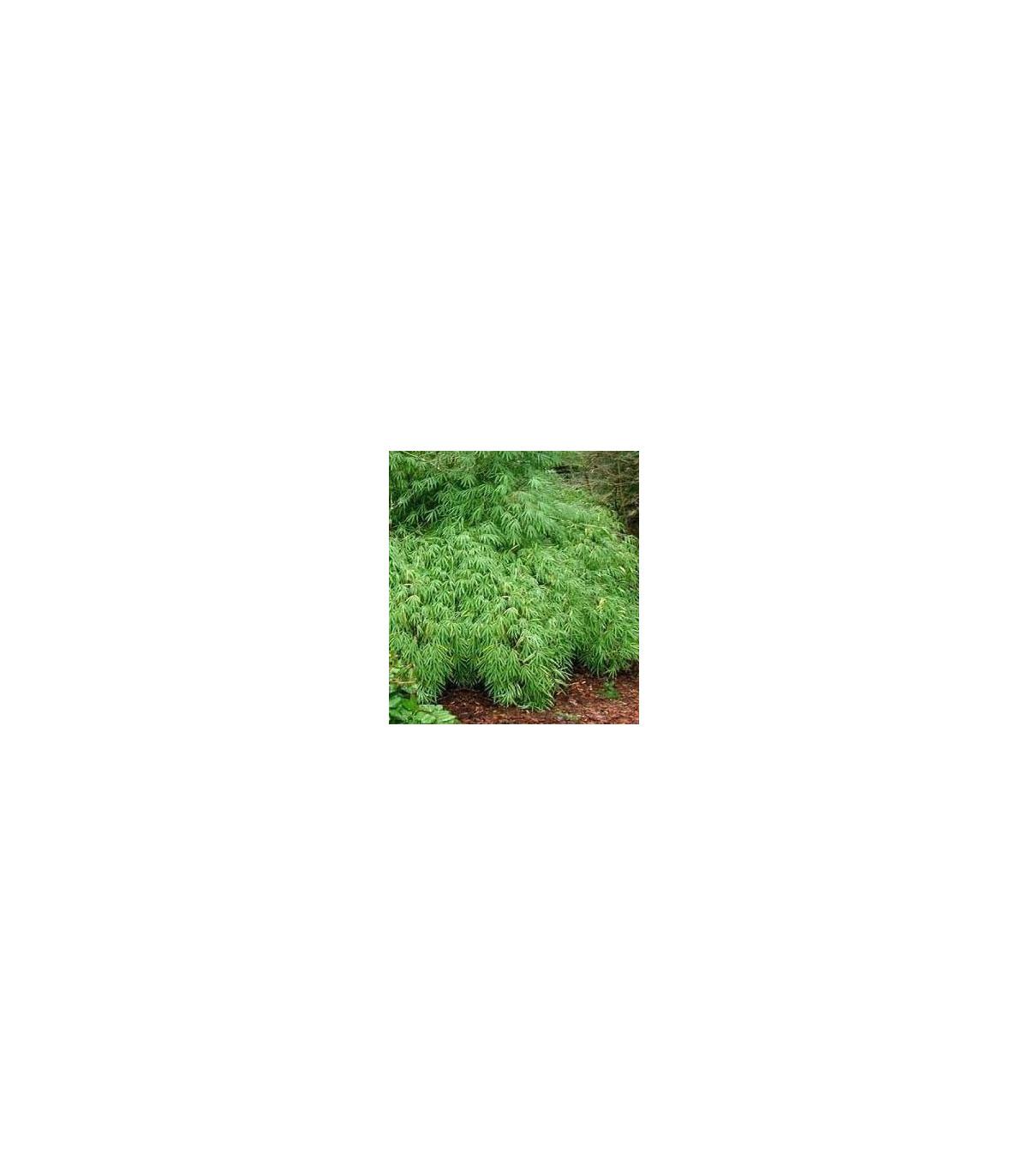 Bambus horský - Rákosovec - 3 x - Fargesia fungosa - prodej semen bambusů
