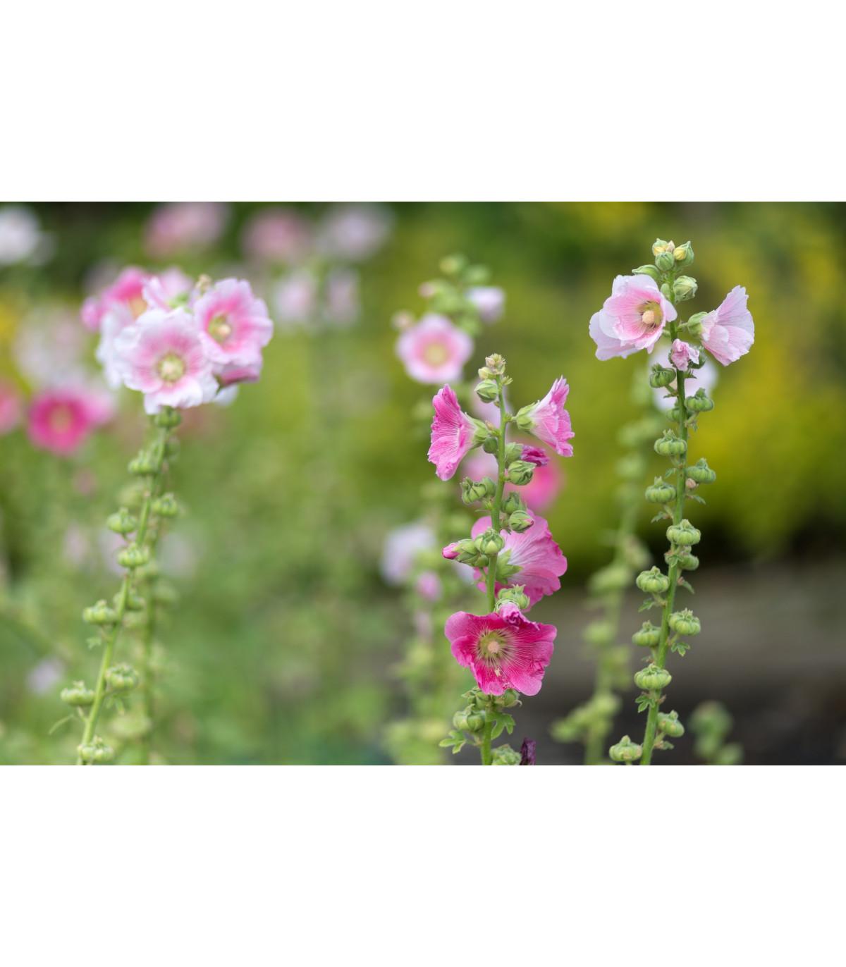 Topoľovka ružová - semená Topoľovky - 40 ks - Alcea rosea