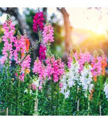Papuľka najväčšia - zmes farieb - semená letničiek - Antirrhinum maximum - 0,2 gr